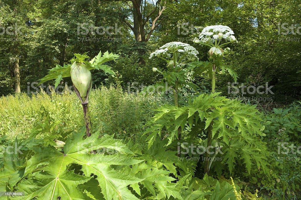 giant hogweed foto