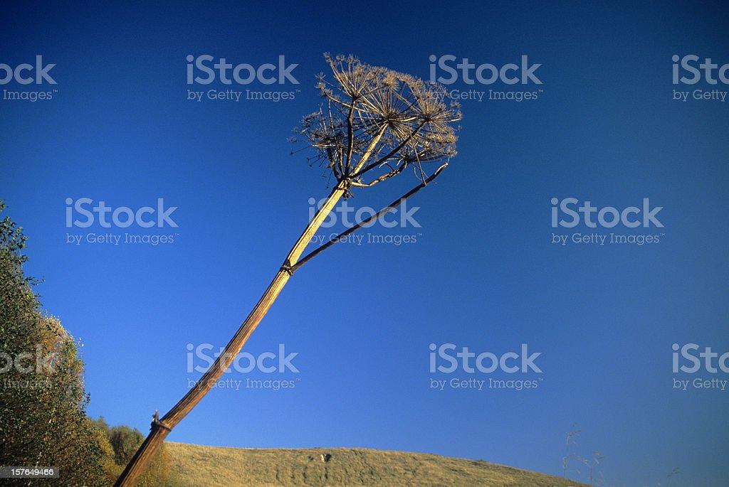 Giant Hogweed stock photo
