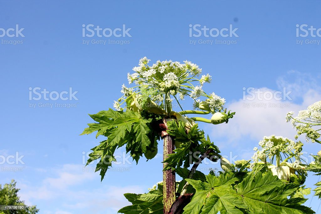 Giant Hogweed stock photo