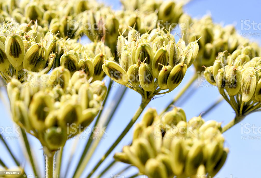 Giant Hogweed. stock photo