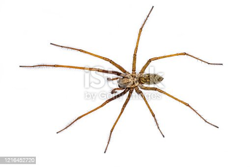 Giant house spider (Eratigena atrica) top down view of arachnid with long hairy legs isolated on white background