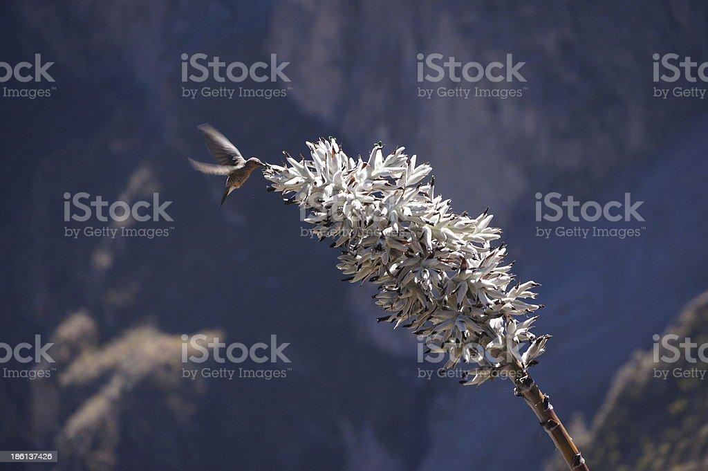 Giant Hummingbird feeding on a white flower stock photo