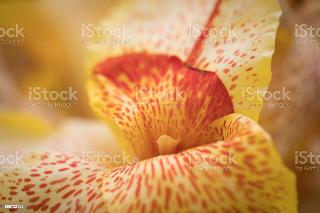 Giant iris petal close up stock photo