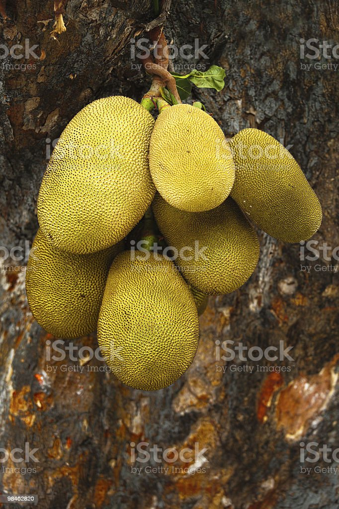 Giant jackfruits royalty-free stock photo