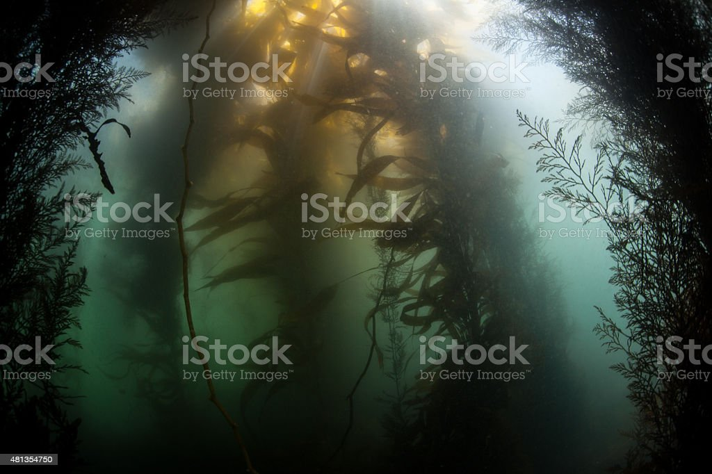 Giant Kelp Forest stock photo