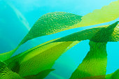 Giant Kelp (Macrocystis pyrifera) fronds / leaves in blue ocean