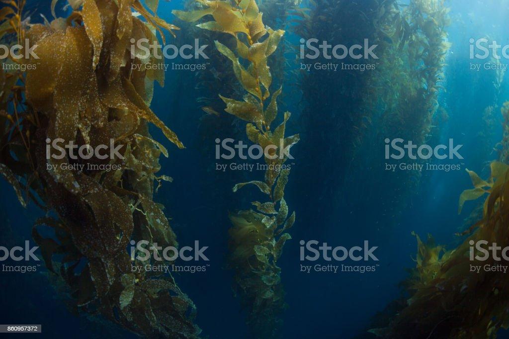 Giant Kelp in California stock photo