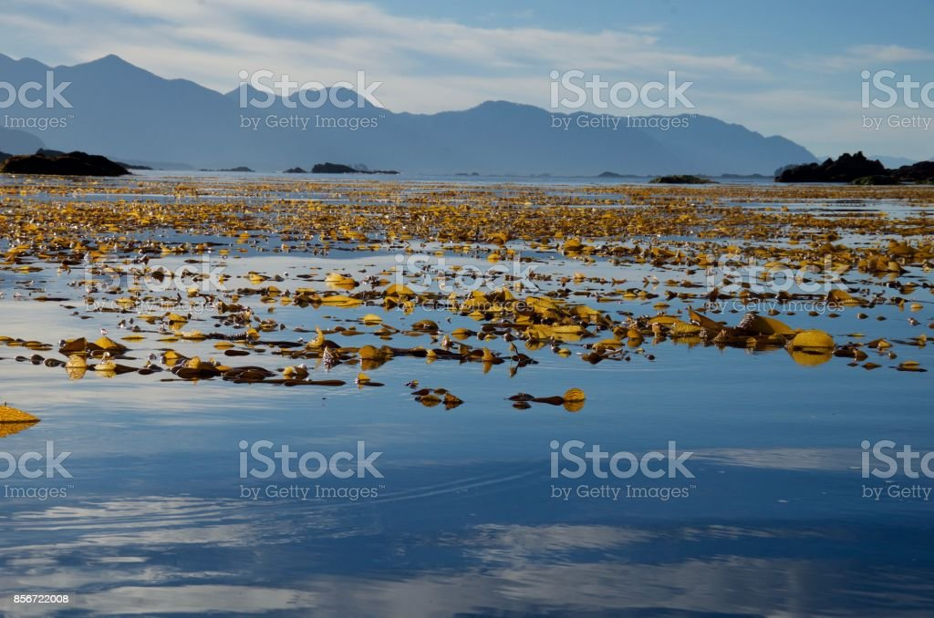 Giant kelp on a glass calm morning, the mountains of Vancouver Island in the distance stock photo