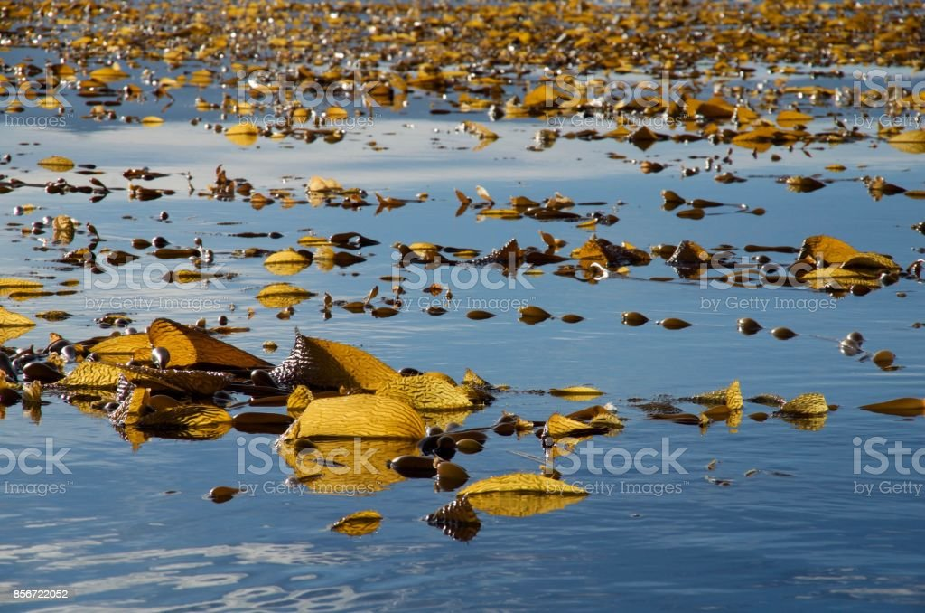 Giant kelp on the surface of the blue sea stock photo
