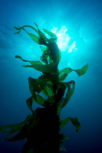 giant kelp - sjögräs alger bildbanksfoton och bilder