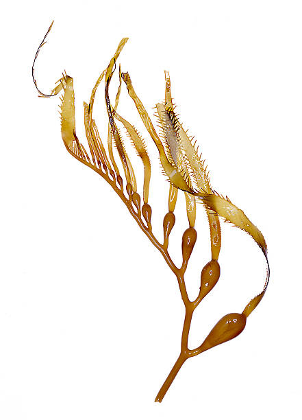 sargazo gigante (algas) muestra - algas fondo blanco fotografías e imágenes de stock