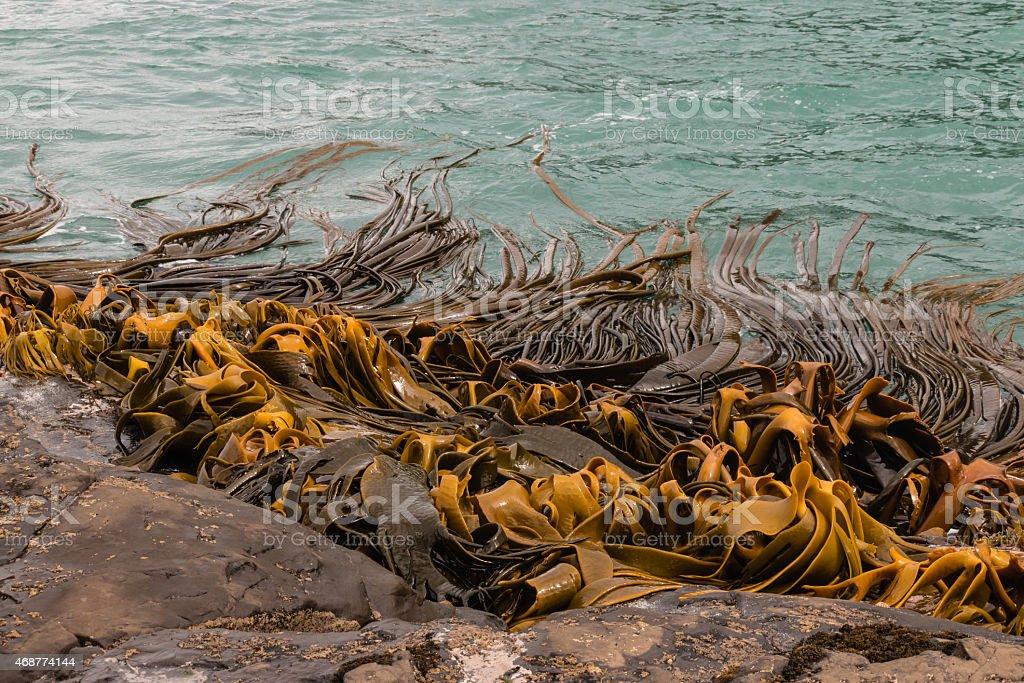 giant kelp waving in sea stock photo