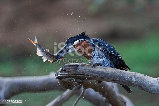 Giant Kingfisher Stock Photo & More Pictures of Africa