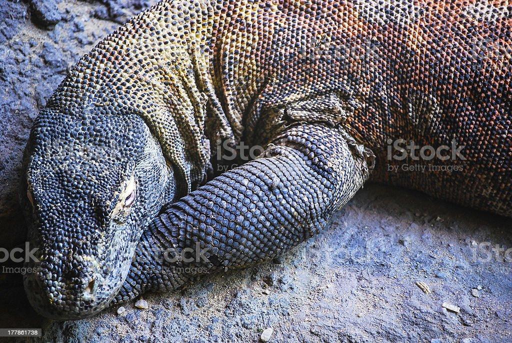 Giant Komodo dragon royalty-free stock photo