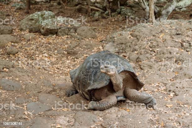 Giant land tortoise picture id1097308744?b=1&k=6&m=1097308744&s=612x612&h=n7fsipaqkonhmkytv1fggwoqt whbebwt1zxga1lzaw=