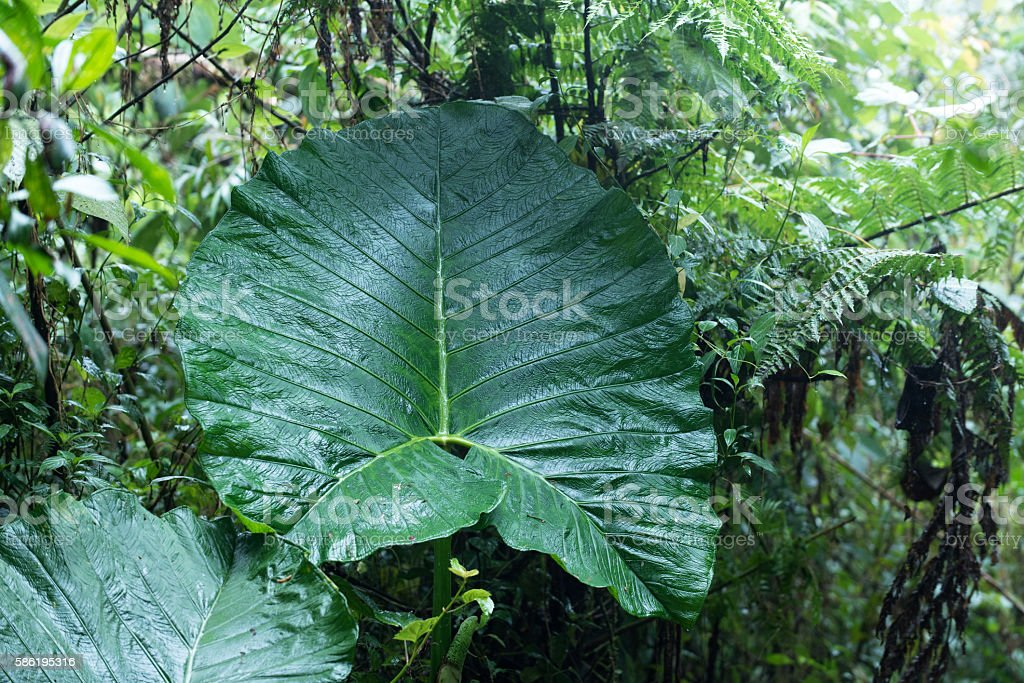 Giant leaf in the cloud forest of Costa Rica stock photo