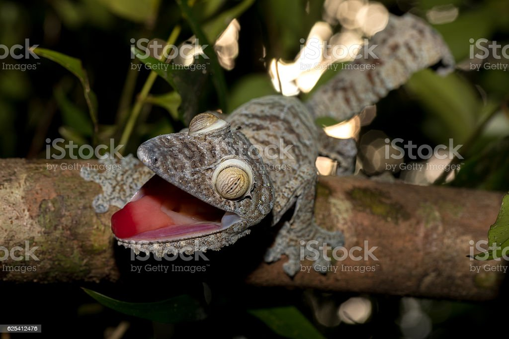Giant leaf-tailed gecko, Uroplatus fimbriatus stock photo
