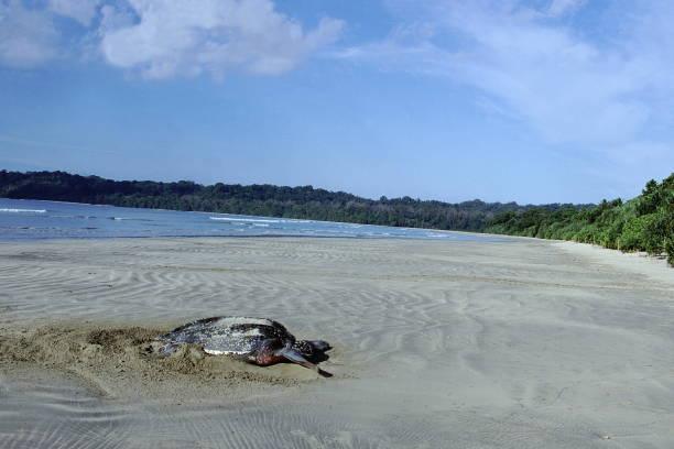 een gigantische leatherback schildpad legt zijn eieren op een afgelegen strand op de grote nicobaren. - leatherback stockfoto's en -beelden