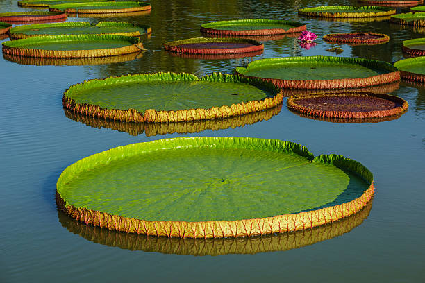 Giant leaves of Victoria Regia Giant leaves of Victoria Regia, the largest water lily victoria water lily stock pictures, royalty-free photos & images