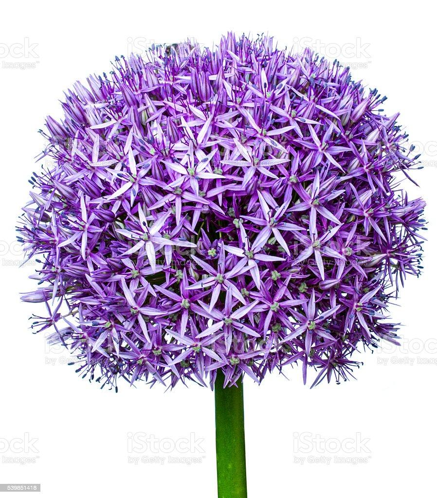giant leek, Allium giganteum foto