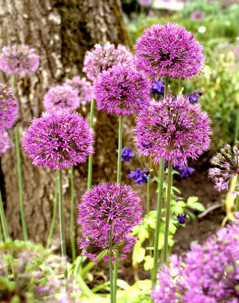 reuze prei, Allium giganteum foto