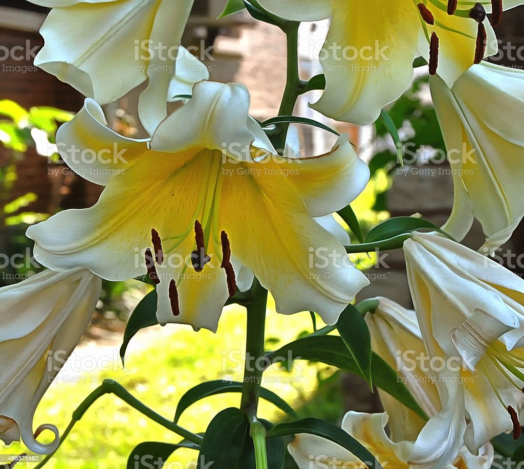 Giant Lilly stock photo