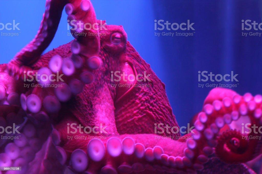 Giant levende Octopus in neon licht in het aquarium foto