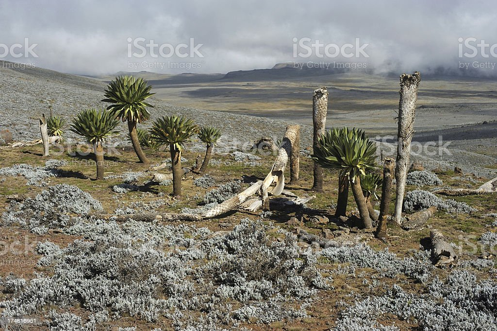 Giant Lobelia, Bale Mountains, Ethiopia stock photo