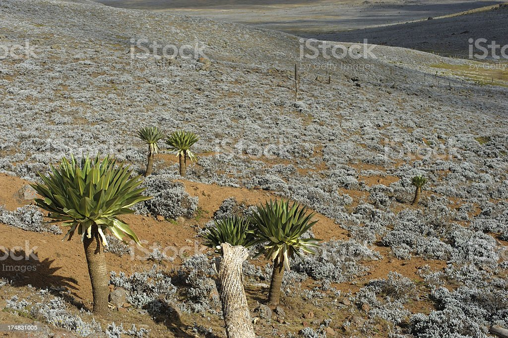 Giant Lobelias on Sanetti plateau, Bale Mountains, Ethiopia stock photo