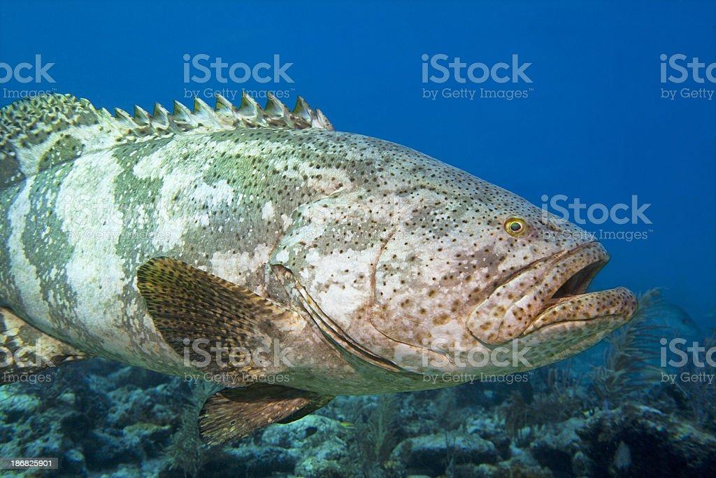 Giant Malabar grouper in the Caribbean,( Epinephelus malabaricus) royalty-free stock photo