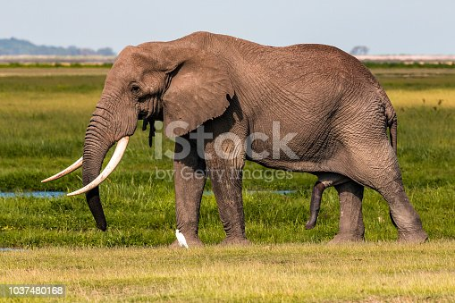 Giant Male Elephant and his wet penis with little egret at wild