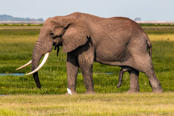 Giant Male Elephant and his wet penis with little egret Giant Male Elephant and his wet penis with little egret at wild animals with big penis stock pictures, royalty-free photos & images