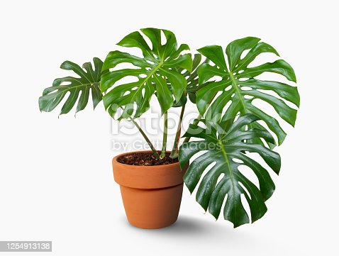 Giant Monstera tree in flowerpot isolated on white background with clipping path