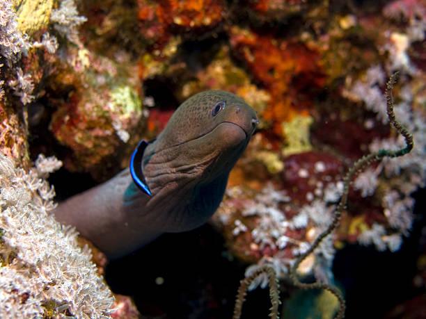 giant moray eel, Gymnothorax javanicus stock photo