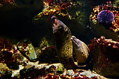 side view of two giant moray eel underwater.