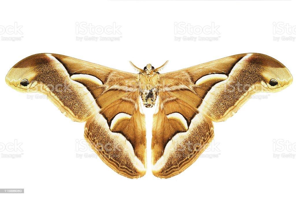 Giant moth on white background royalty-free stock photo