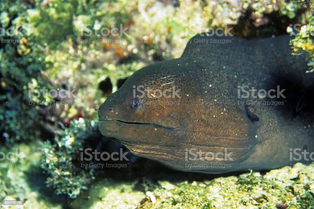 Giant Muray Eel stock photo
