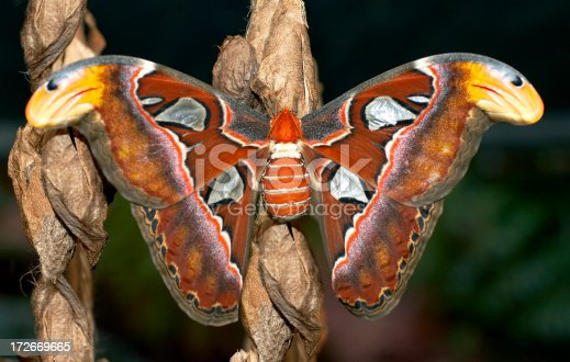 istock Giant Night butterfly Cobra Moth 172669665