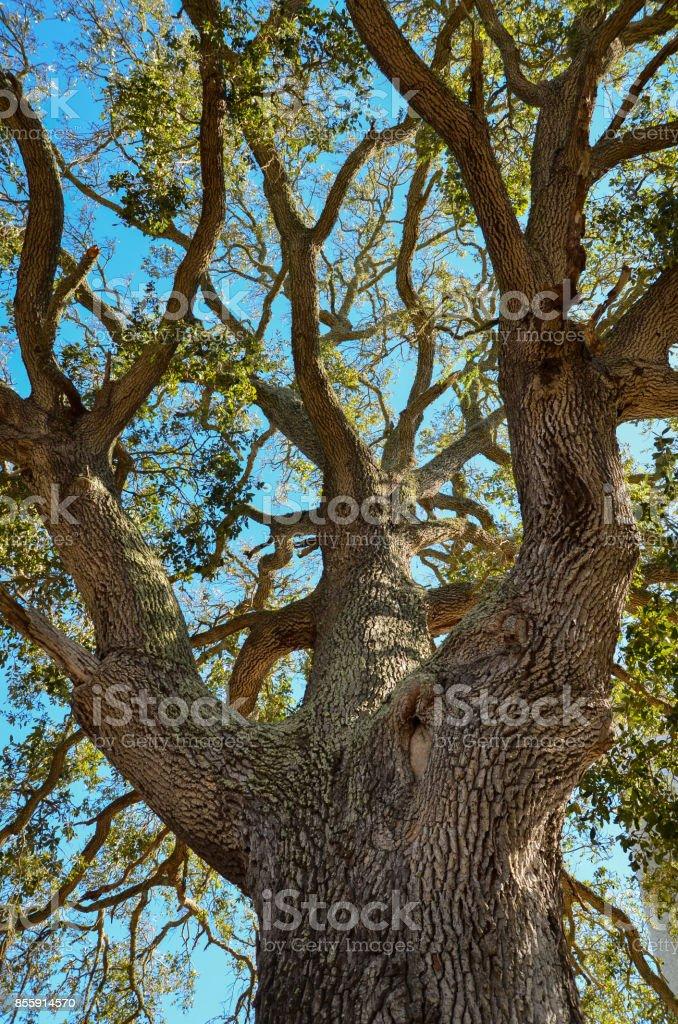 Giant Oak Tree stock photo
