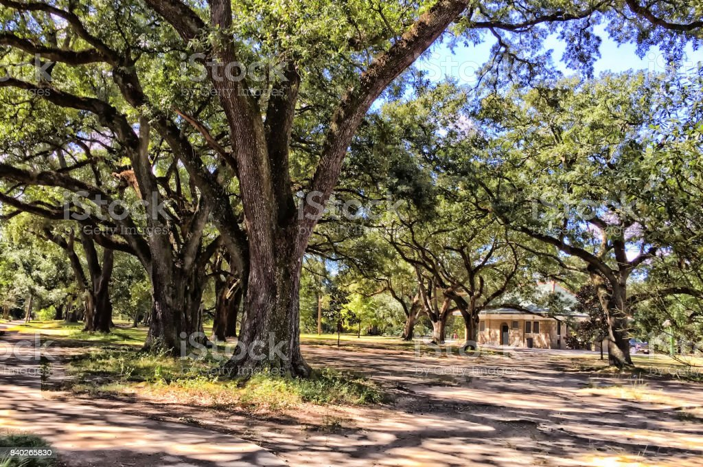 giant oak trees in shade the forest in Louisiana stock photo