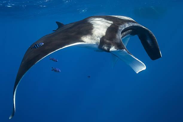 Giant Oceanic Manta Ray, Sri Lanka, Indian Ocean stock photo