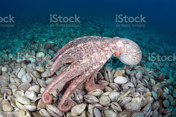 Giant octopus dofleini in bivalve mollusks graveyard picture id120900175?b=1&k=6&m=120900175&s=612x612&h=pe1xsltnmaeziziatbh4 lfvrjh4j7owwndulcwde i=