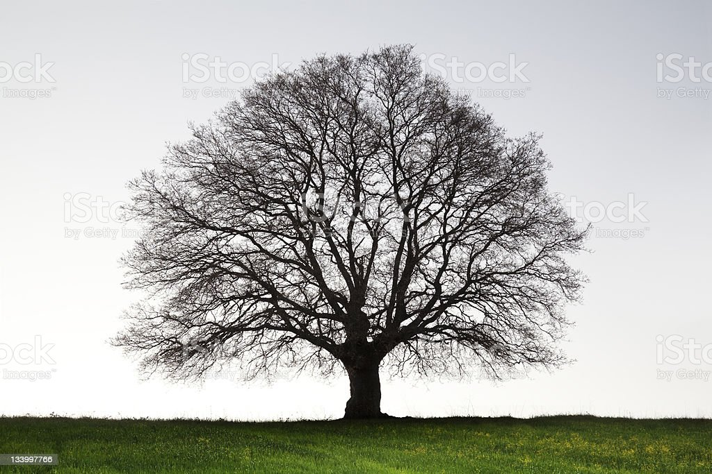 Giant Old Tree stock photo
