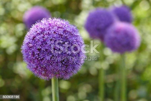 Giant Onion (Allium Giganteum) blooming in garden