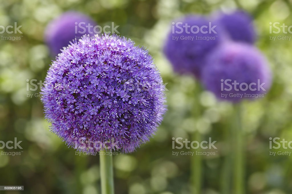 Giant Onion (Allium Giganteum) blooming stock photo