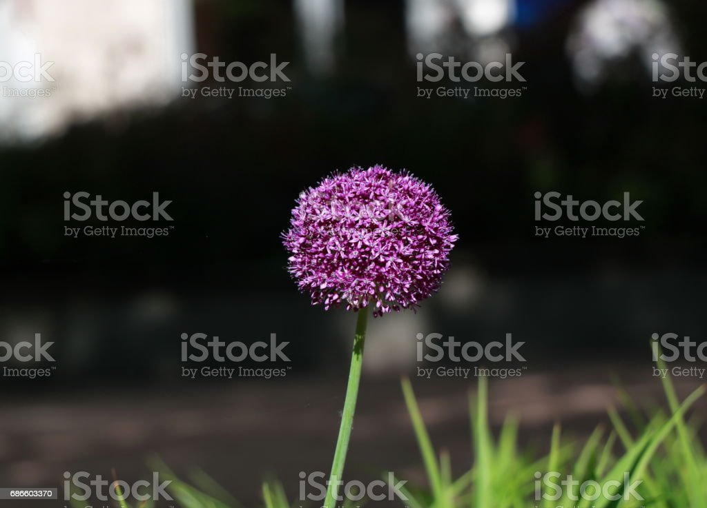 Giant Onion blooming royalty-free stock photo