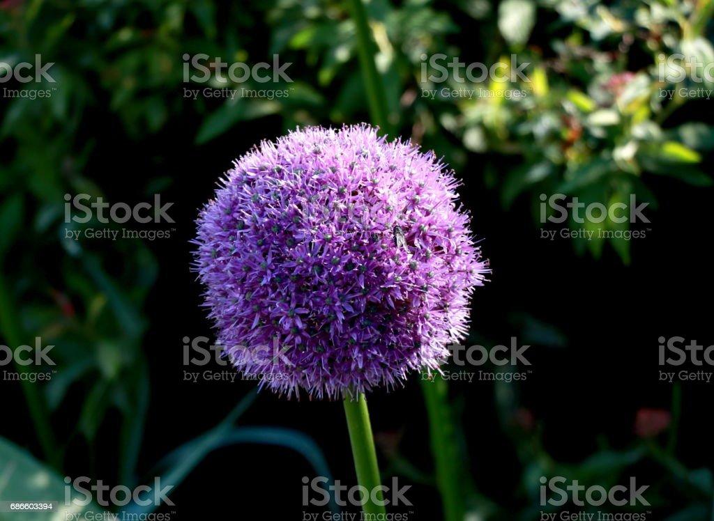 Giant Onion (Allium Giganteum) blooming royalty-free stock photo