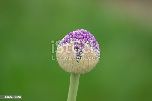 Giant onion (Allium gigateum) flower buds in springtime.