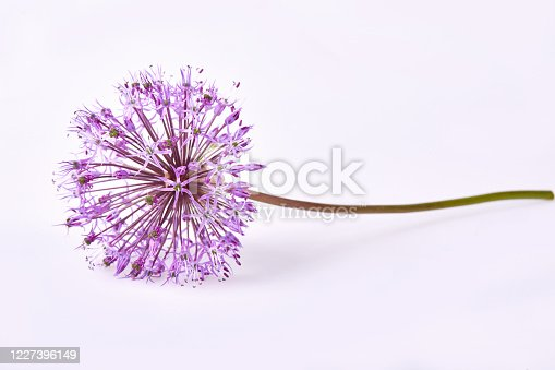 Giant Onion (Allium Giganteum) flower  isolated on white background. Allium is a genus of monocotyledonous flowering plants in Amaryllidaceae family.