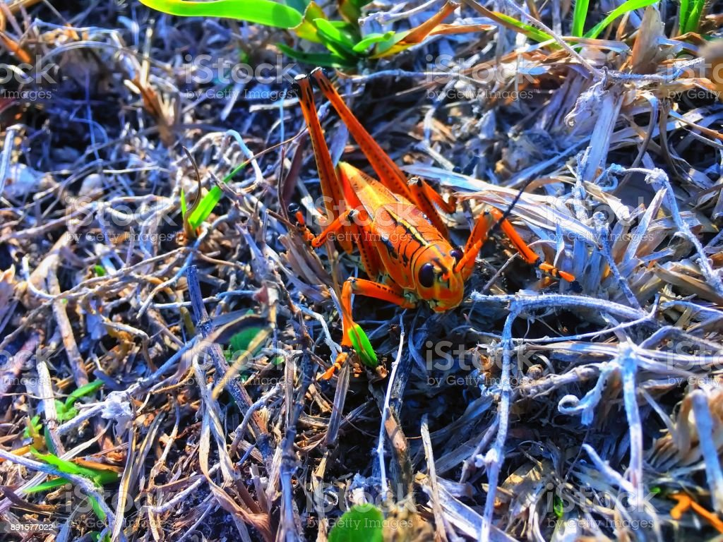 Giant orange Lubber Grasshopper looking at camera stock photo